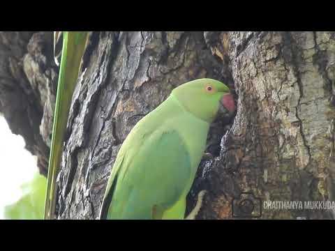 Rose ringed parakeet video using my cool pix p900