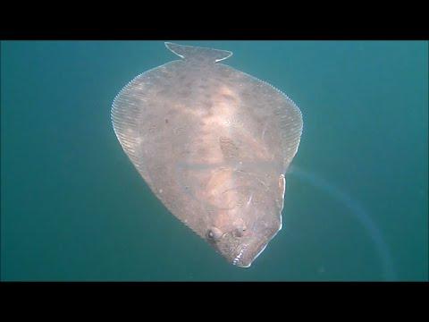 Revealing Flounder/Fluke Fishing with Live Bait Underwater View!
