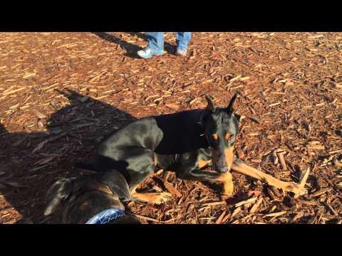 Doberman avoiding a fight at the dog park