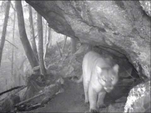 Trail Camera, Mountain Lion, 2/15/10