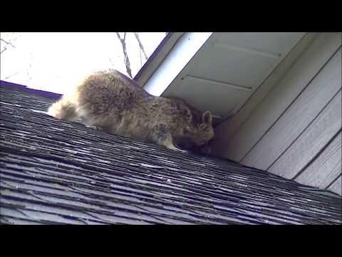 360 Wildlife Control's superior raccoon removal method