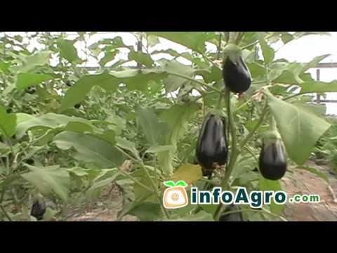 Eggplant growing. 1/2