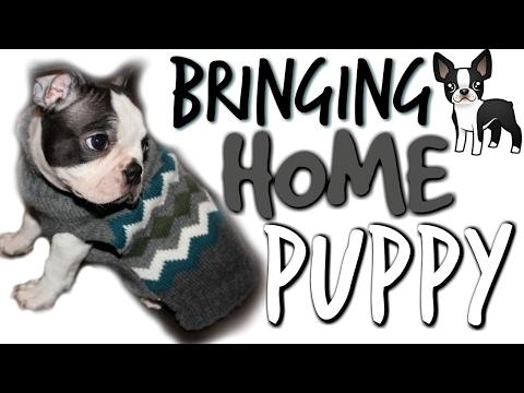 BRINGING HOME NEW PUPPY 🐶 8 Week Old BOSTON TERRIER!