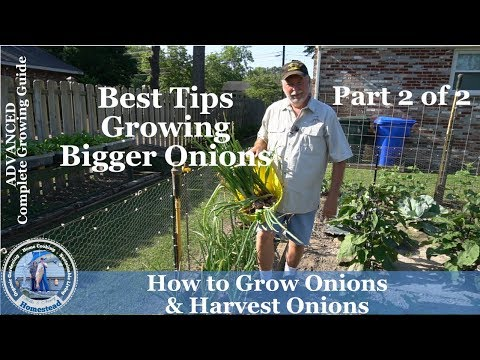 How to Grow Red Onions - Part 2 of 2