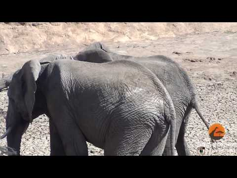 Xxx Mp4 Male Elephants Mounting Show Of Dominance 3gp Sex