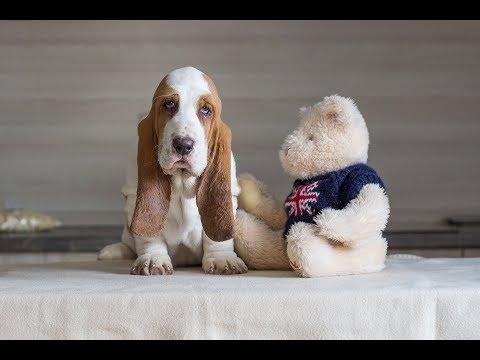 Basset Hound Puppies Dramijos Jan.2018