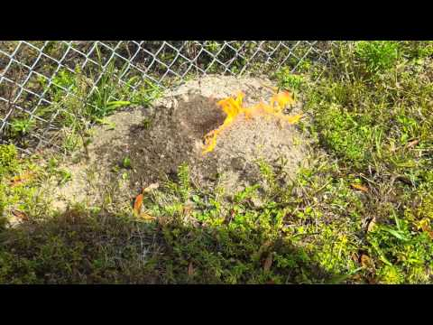 Getting Rid of Florida Fire Ants!