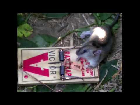 How I Caught a Rat in my Garden