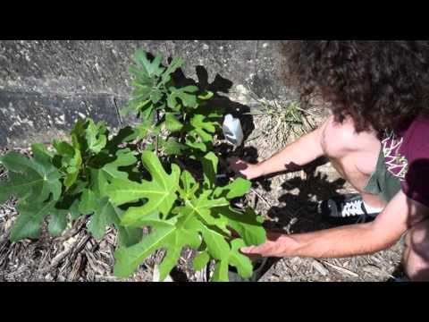 Layering a 'Chicago Hardy' fig tree