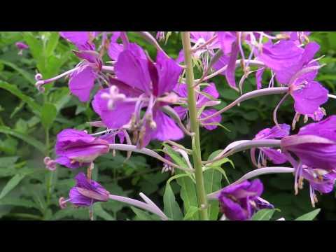 Fireweed (Epilobium Angustifolium) / Great Willow-herb - 2013-07-13