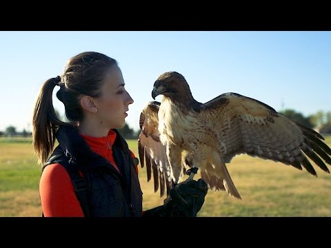 Training a RED TAIL HAWK - TEXAS HAWKING!
