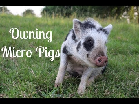 Thing To Consider Prior to Getting Micro Pigs & Preparation