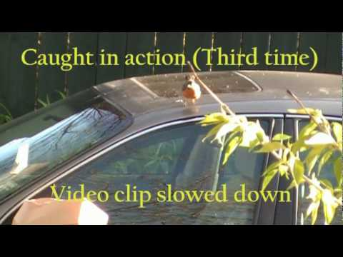 Mirror-pecking, pooping bird attacks cars
