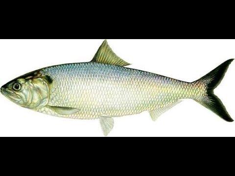 Fish farming part 3 / farming of fish / how to grow fish in urdu/hindi / machli palna