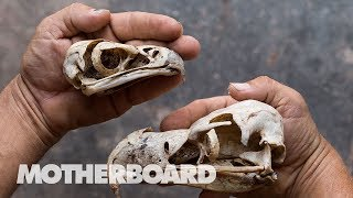 Smoking Vulture Brains in South Africa