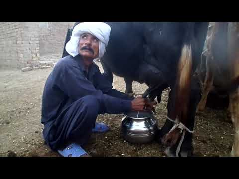Milking cow and bufflo the great village old man of Pakistan by hand | sabir ali | (compilation)
