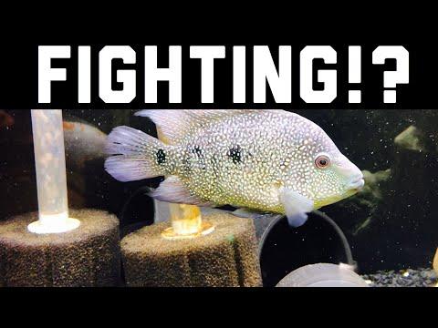 Jack Dempsey Fighting, Chasing? Predator FISH Guide
