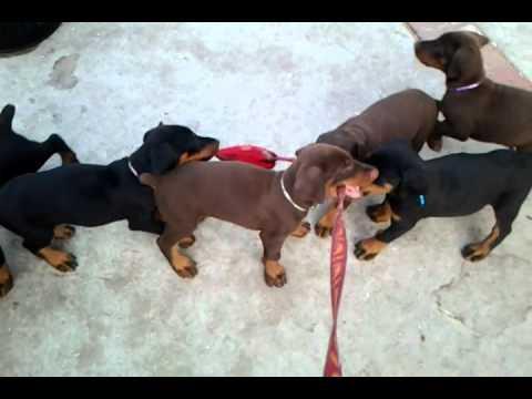 Tugging, Biting and Playing - Doberman Puppies