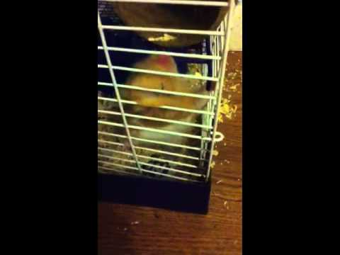 Hamster tries to escape