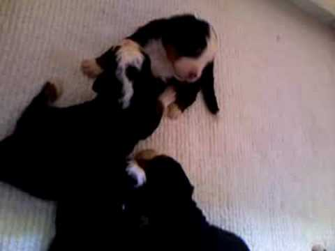 Y litter Bernese Mountain Dog pups 2 weeks old