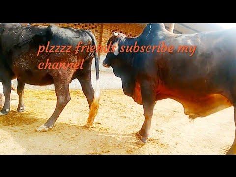 Xxx Mp4 Cow Sex Vedio Ox Sex Vedio By Vehli Mandeer Entertainment 3gp Sex