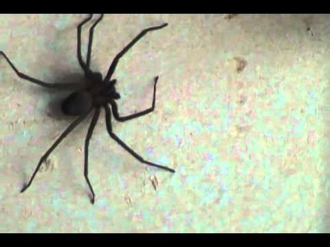 Huge Brown Recluse Spider (loxosceles reclusa) -  Happy Ending