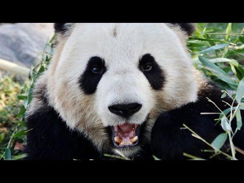 PANDA -Giant Panda Bear Species Spotlight
