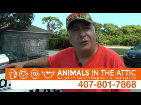 Rats, Squirrels & Raccoons Use Trees to Get In Your Home, Raccoon Removal Orlando, FL