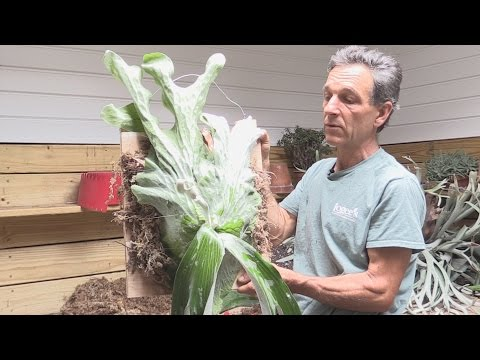 How to Divide and Mount a Staghorn Fern (Platycerium andinum)