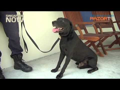 Is a police dog for you? (K-9 adoption pt 1)