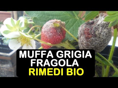 MUFFA GRIGIA FRAGOLE RIMEDI BIO
