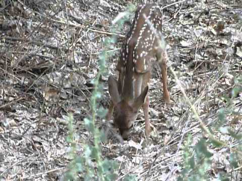 FAWN BY THE HOUSE