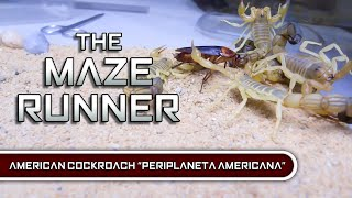 Download Colosseum of death | 3 Deadly scorpion species vs The American cockroach. Video