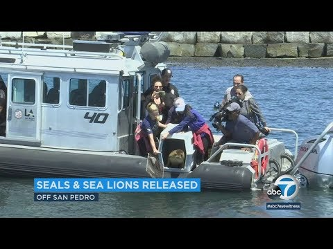 LAPD helps release healed sea lions, seals back into ocean | ABC7