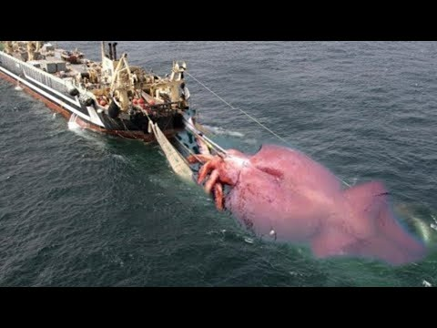 BIG Giant Squid Caught on Boat - Net Fishing