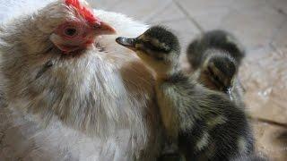Duckling Disaster. Duck Deserts So Hens Hatch Eggs. Patitos Eclosión Con Gallina. Canetons éclosion