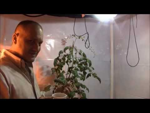 Destroying Powdery Mildew On Tomato's