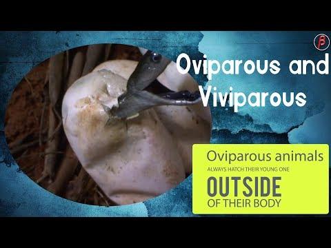 OVIPAROUS & VIVIPAROUS ANIMALS