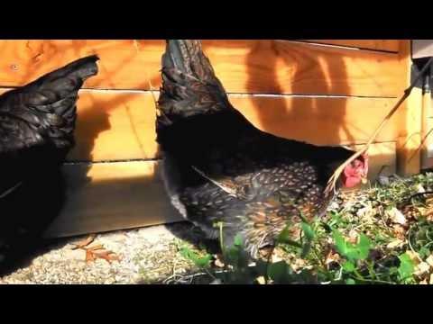 Barnevelder Chickens