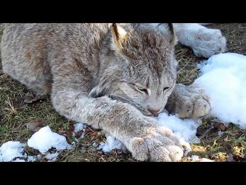 Max Canada Lynx & a Snow Cone