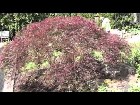 JD Tree Service properly prunes a Lace Leaf Maple in Medina