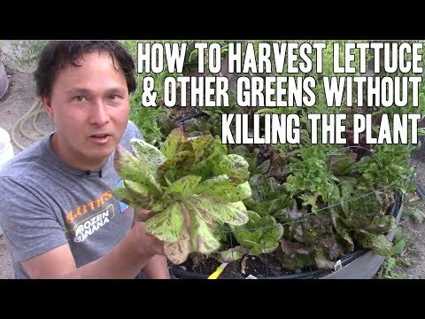 How to Harvest Lettuce & Other Leafy Greens without Killing the Plant