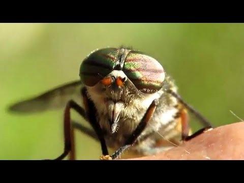 Horsefly bite symptoms