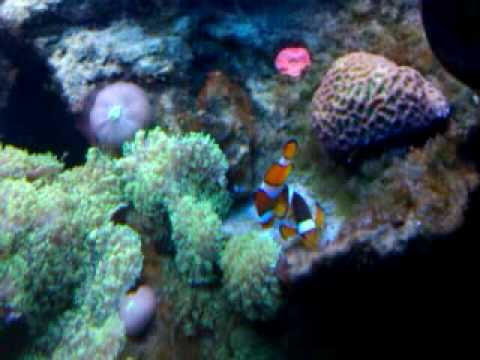 Clownfish laying eggs, and eating them!