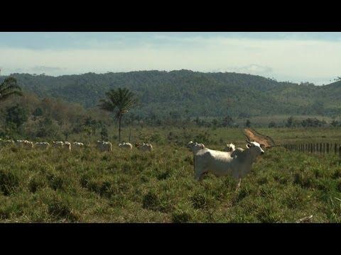 Cattle-ranching: biggest threat to Amazon rainforest