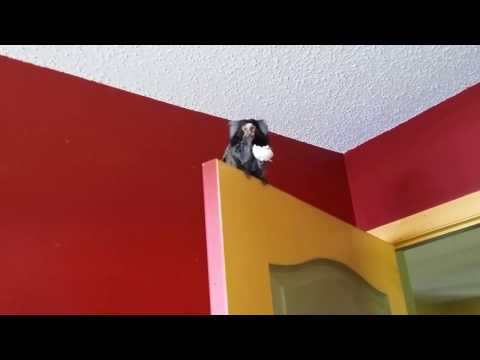 Marmoset monkey going nuts over a hard boiled egg