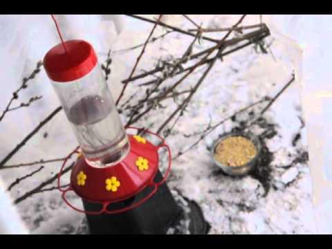 Hummingbird winter hangout