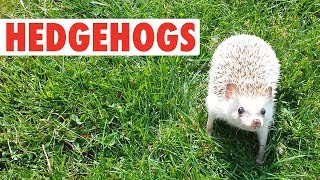 Happy Hedgehogs   Funny Pets Video Compilation
