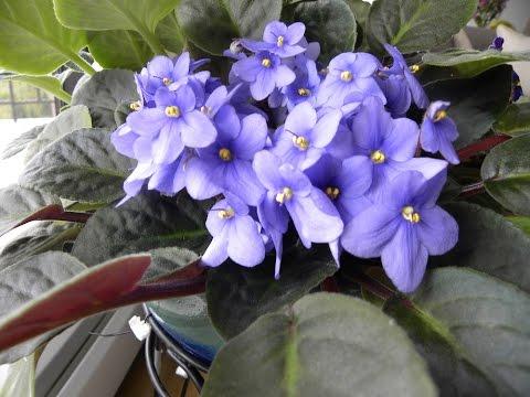 More African Violets.