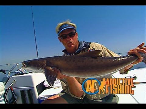 Tampa Bay Inshore Fishing for Redfish and Cobia Riding Stingrays